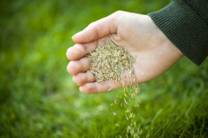 hand holding grass seeds